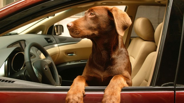 Dog-in-a-car